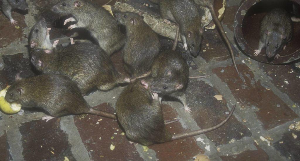 уничтожение крыс в Куйбышеве